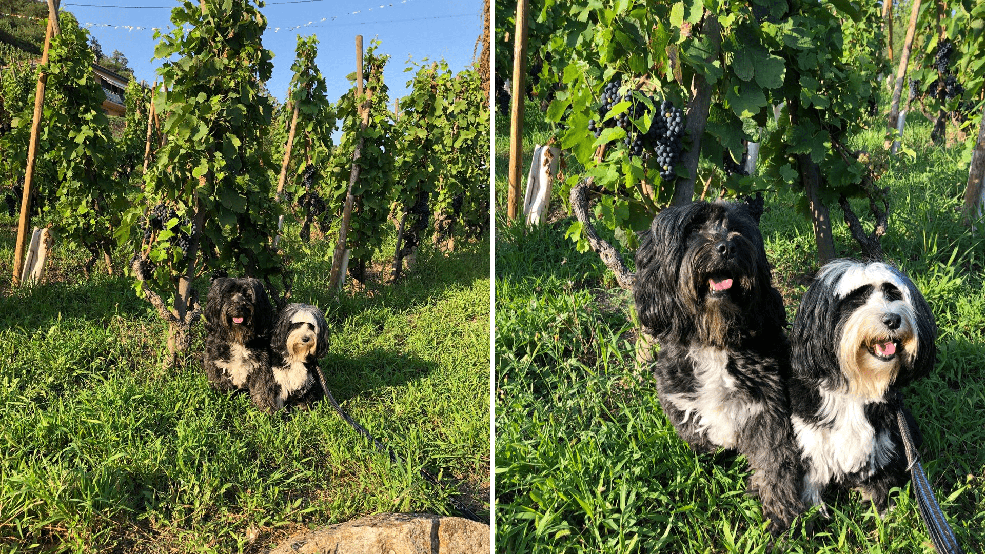 Dogs in the vineyard in France